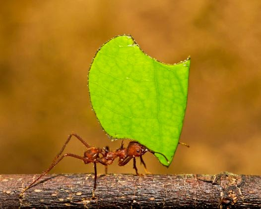 relationship between leaf cutter ants and fungi perfecti