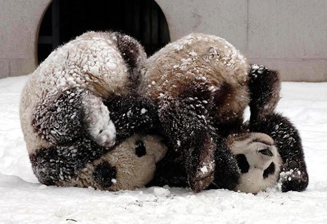 Panda headstand