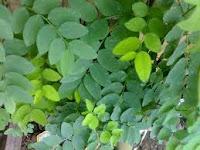 Sayur Katuk