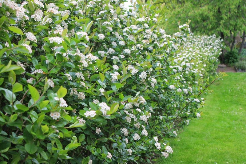 Siepe di aronia in fiore