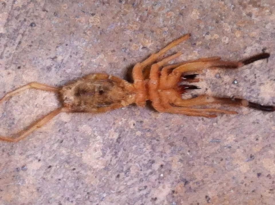 Insecto Vinagrón