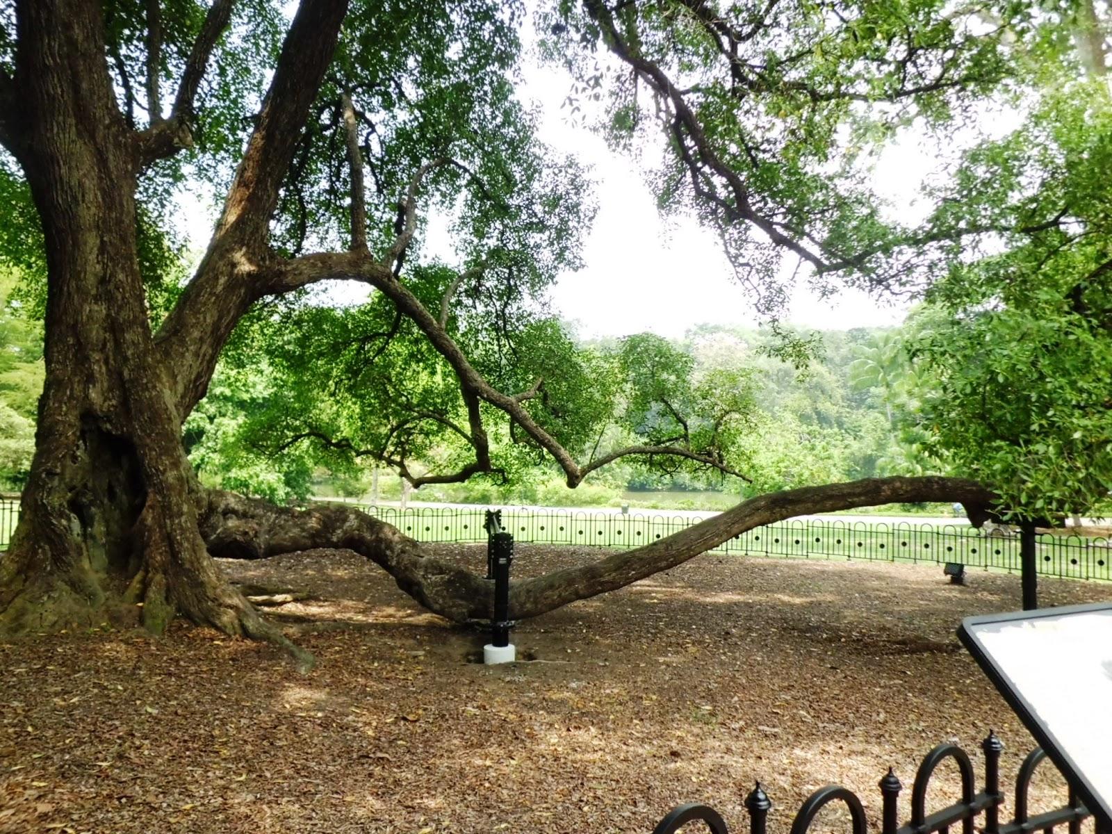 Singapore Botanic Gardens - Heritage Tree. Tembusu (Fagraea fragrans)