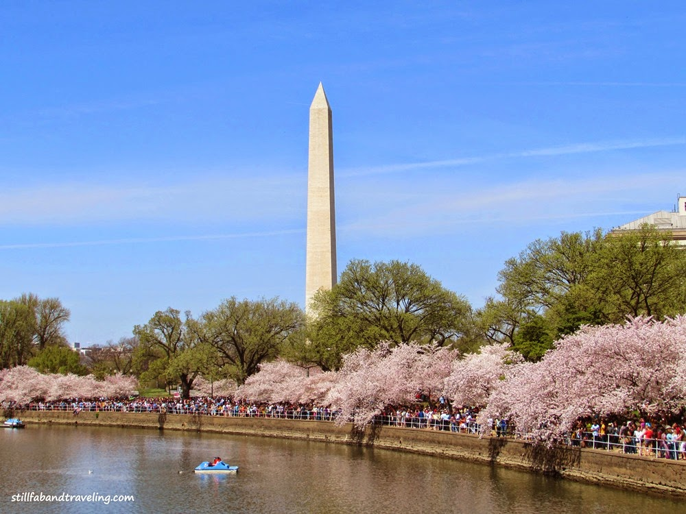 View of the Cherry Blossoms and the Washington Monument in DC