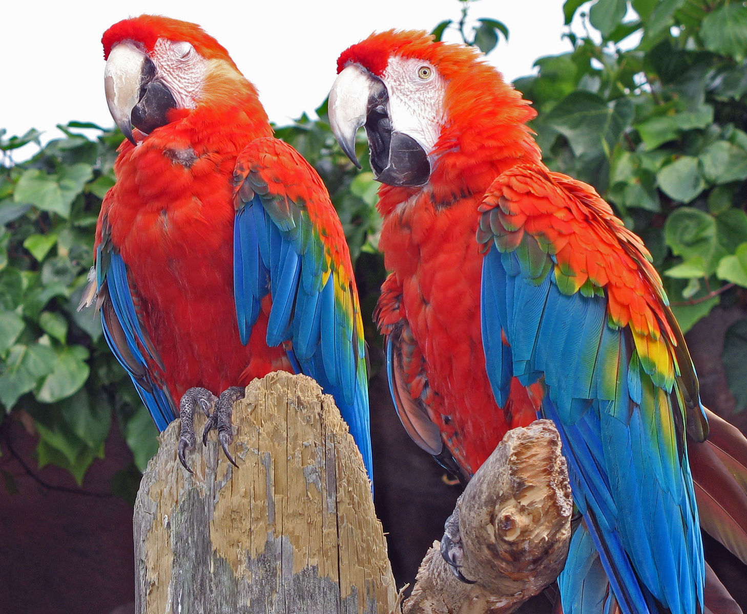 wild blue and gold macaw parrots