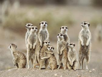 Desert Meerkats