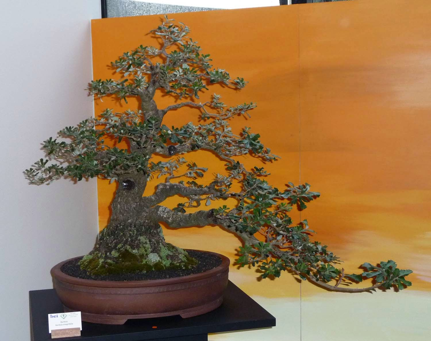 Bonsai Amp Pottery Post 167 BCI 2014 Convention At The Gold Coast