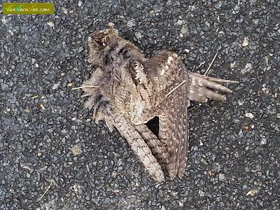 chotacabras gris atropellado sobre el asfalto