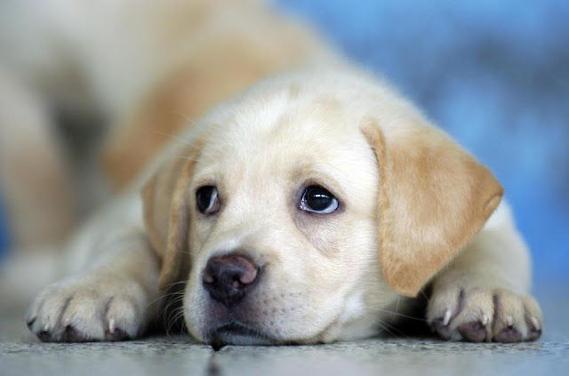 Cute labrador puppies looking so innocently