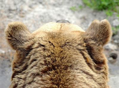barnamedve, Vargyas, medve, medvetámadás, Székelyföld,