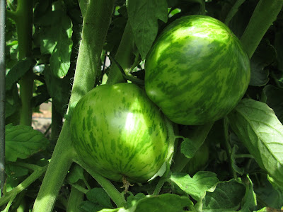 Close-up of Green Zebra tomatoes on vine