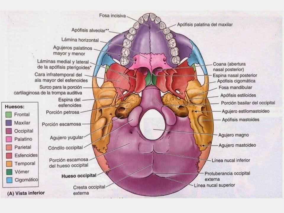 Lujoso Anatomía Posterior Del Cráneo Colección - Anatomía de Las ...