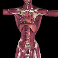 3d Human Anatomy5
