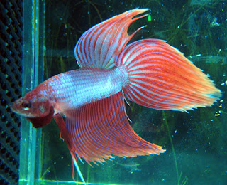 12 Type Of Betta Fish By Tail Types