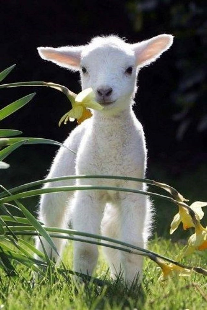Cutest baby goats & lambs ever | funny bits