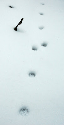 A trail of cat paw prints have been left in the deep snow. March 2013 uk