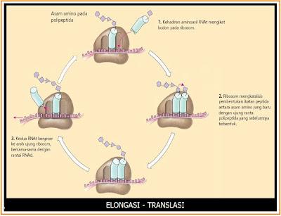 ELONGASI%2BTRANSLASI Kode Genetik