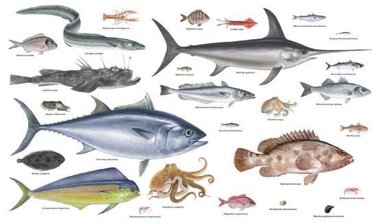 Els peixos del mediterrani esp cies de peixos en el mar for Especies de peces