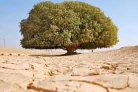 Pohon Yang Pernah Menaungi Rasulullah Masih Hidup Segar