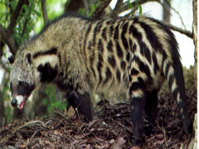 Animal names african civet african civets can be found from coast