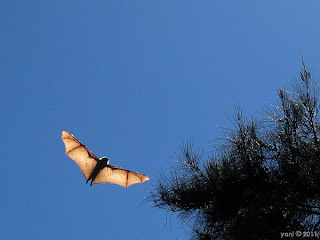 bat on the wing