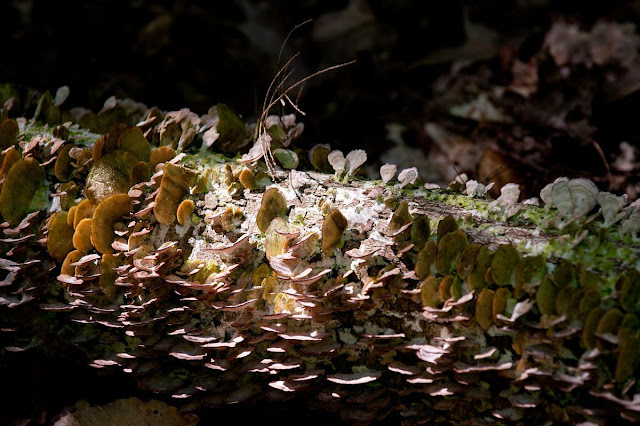 hundreds of small shelf style fungus along the length of a fallen tree, Grants words