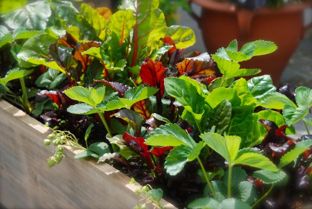 Strawberries and colorful greens in a window box... a combination to be monitored!