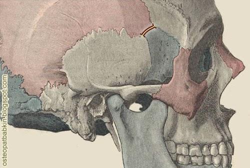 Соединение клиновидной кости с теменной костью, или sutura spheno-temporalis