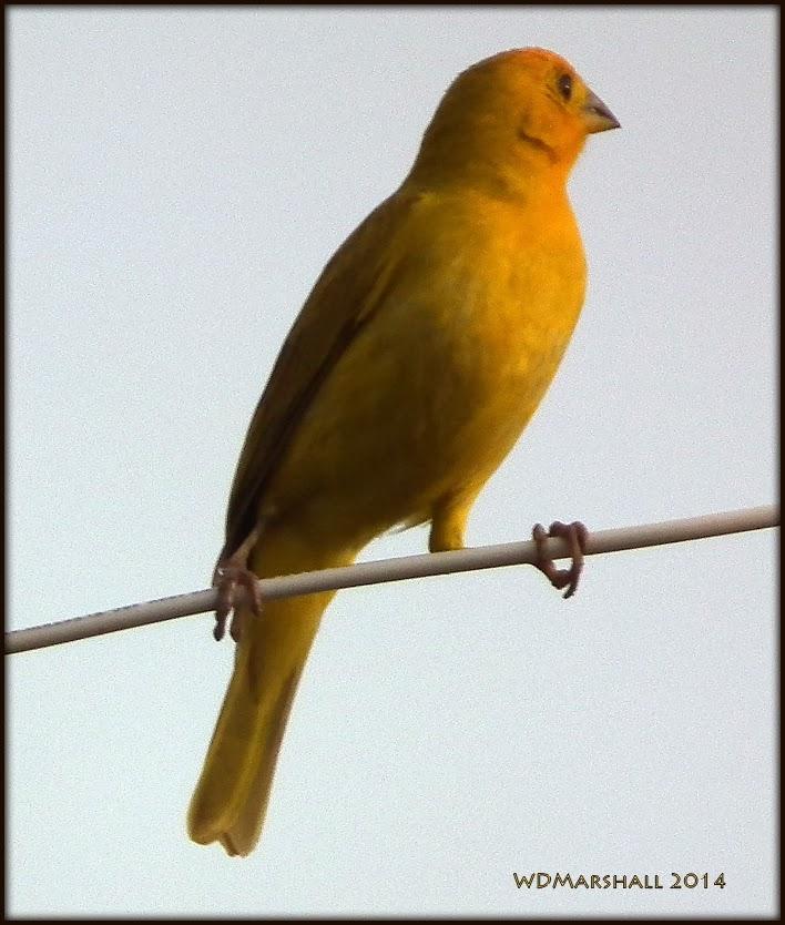 Orange finch birds - photo#17