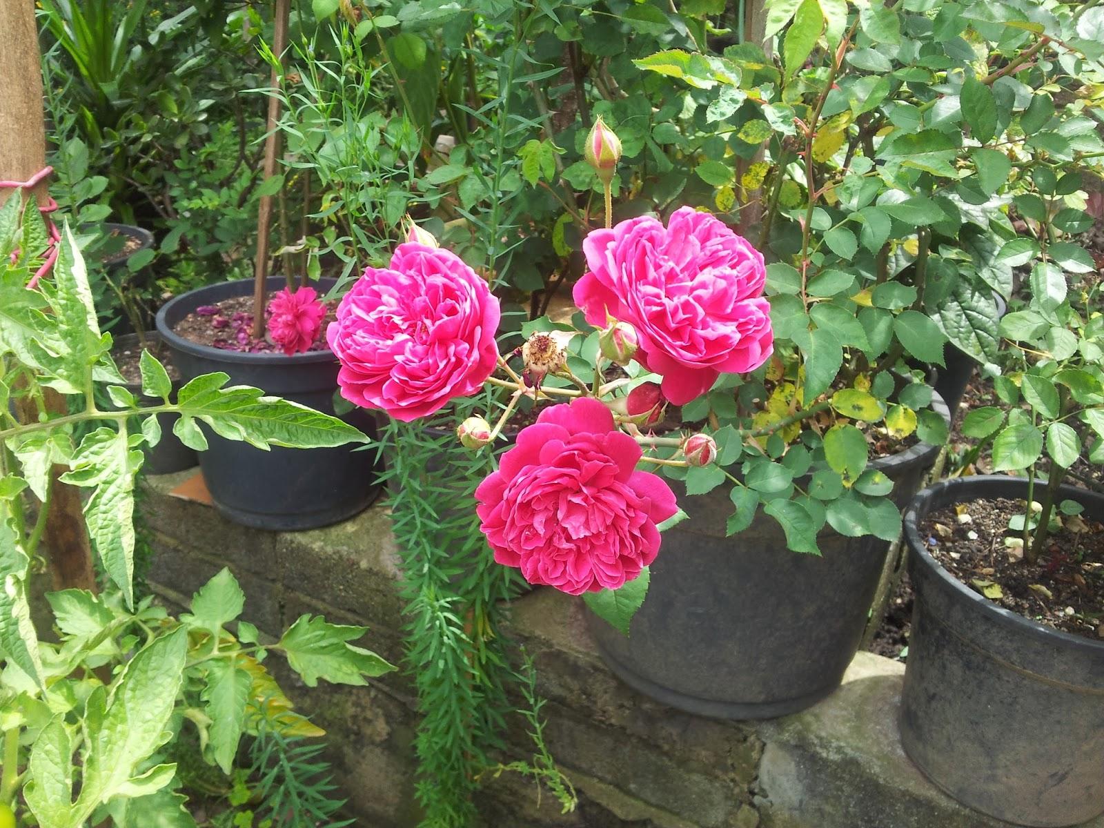 Bonito Jardim Rosas  Cultivo e manutenção