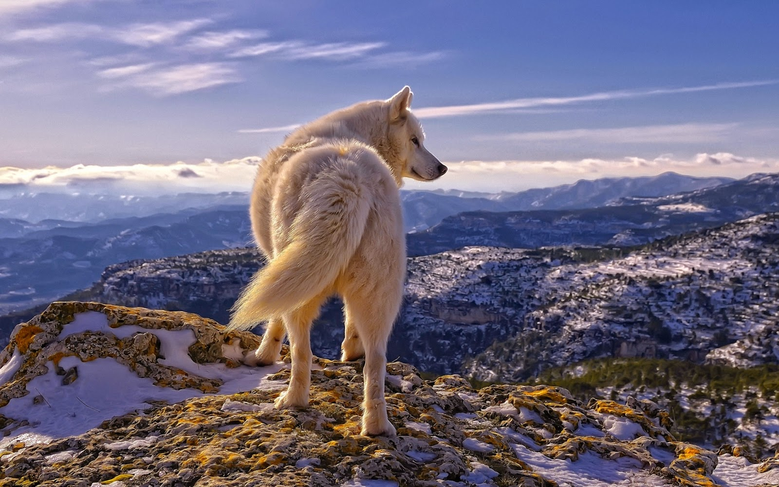 Free Wolf Wallpapers For Desktop