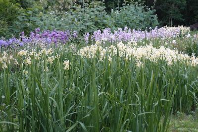 Iris garden visit