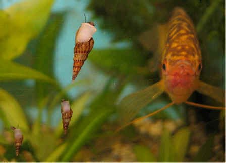 M Trumpet Snails We Are Moving.... - Th...