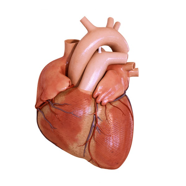 Amazing Facts About Your Heart Simplebiology