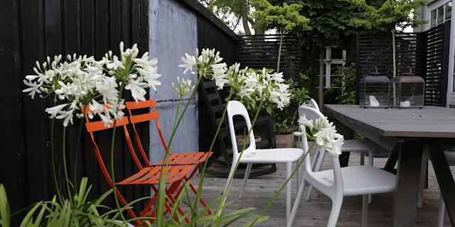 Hvid skærmlilje, agapanthus