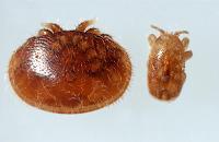 Tropilaelaps clareae (Tropilaelaps akarı, Arı akarı)