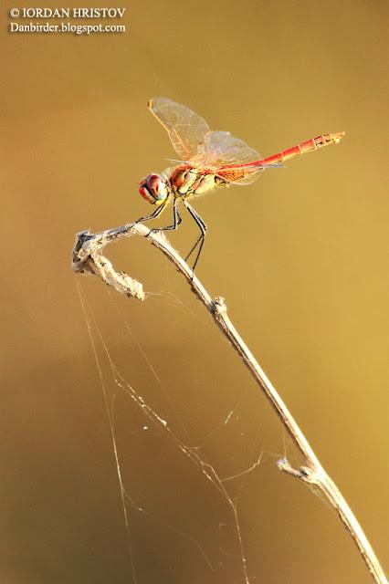 dragonfly Bulgaria