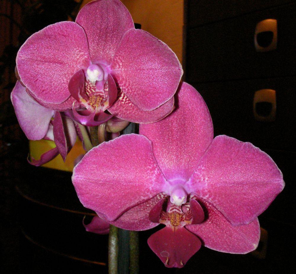 Цветы фаленопсиса