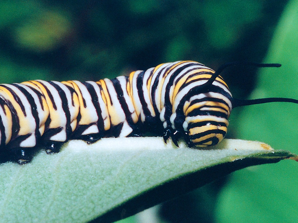 Monarch butterflies caterpillar
