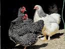 Shamra's Chickens