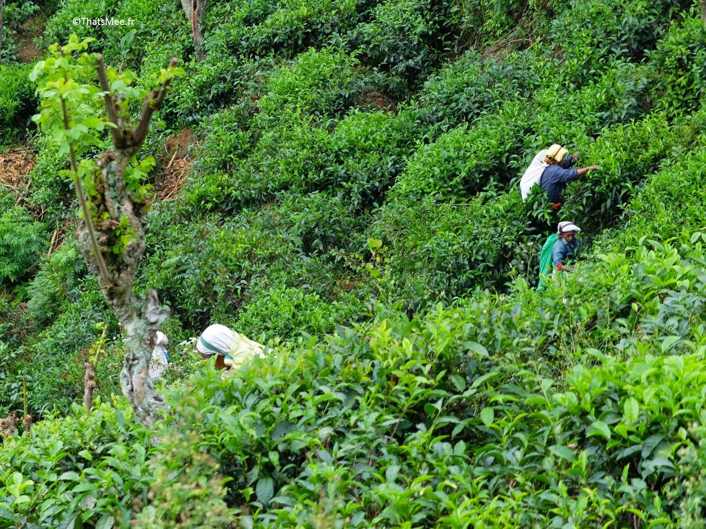 Cueilleuses de thé Nuwara Eliya