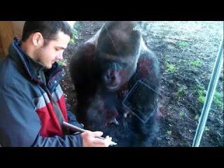 Jelani, Gorilla Yang Suka Melihat Foto dan Video Melalui Handphone - taukagaklo.blogspot.com