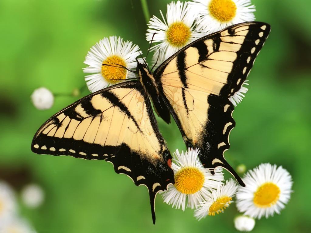 http://4.bp.blogspot.com/-EKtppZLvygo/TYX2VpqaBDI/AAAAAAAAGow/zAbSzTQYnc8/s1600/Tigrasti-leptir-download-besplatne-pozadine-za-desktop-slike-kompjuter-zivotinje-priroda-biljke-cvijece-proljece-godisnja-doba.jpg