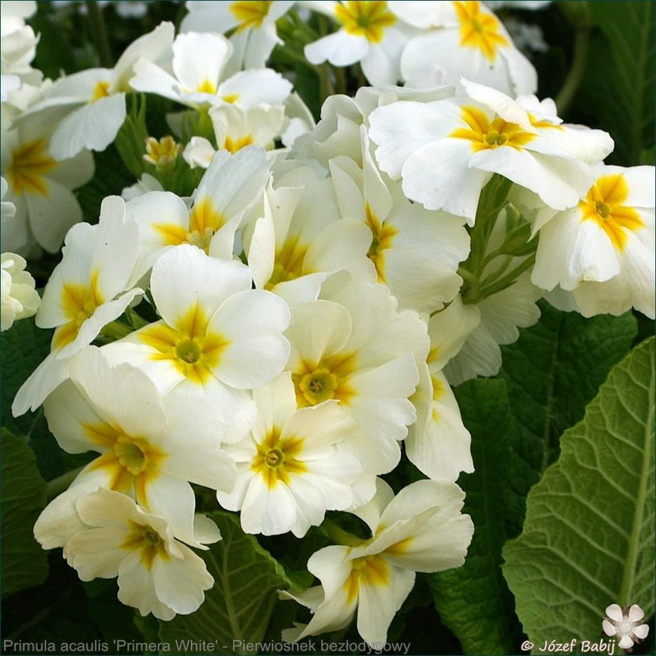 Primula acaulis (vulgaris) 'Primera White' - Pierwiosnek bezłodygowy