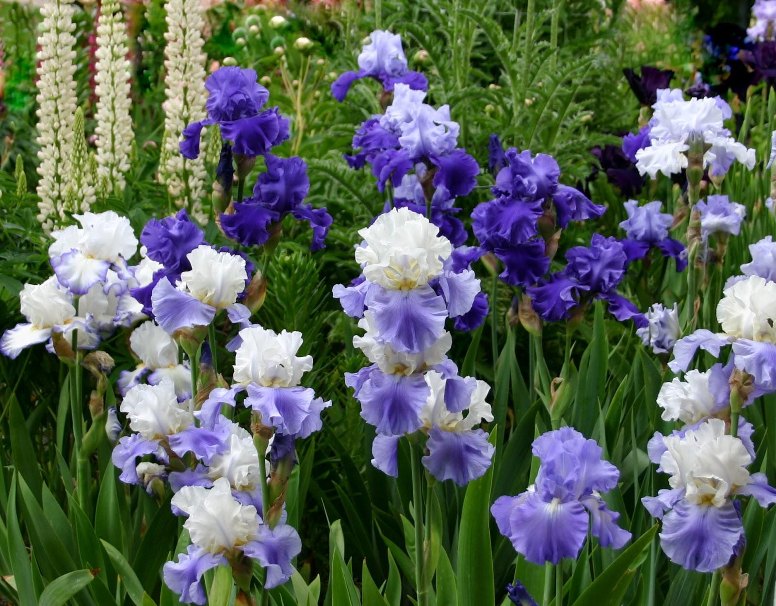 Iris flower garden garden visit flower borders in a colorful english world of irises quot talking irises quot the blue iris garden iris flower garden izmirmasajfo