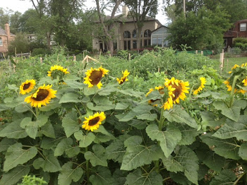 Sunflowers at the Community Garden