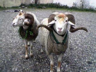 صور خروف كبش العيد الأضحى