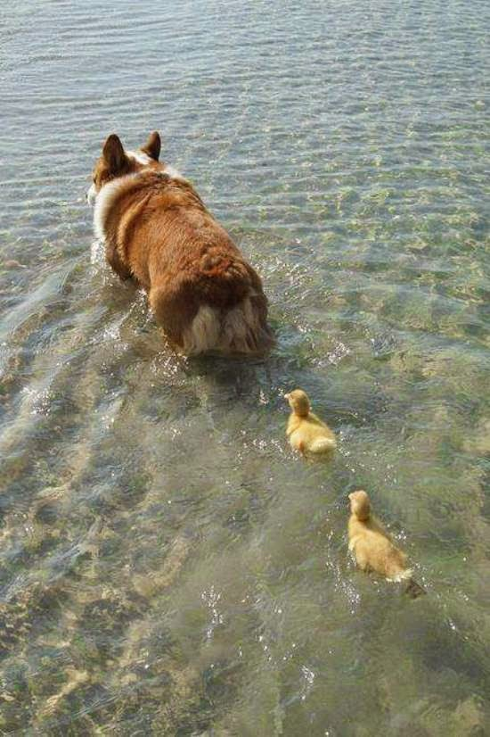 los patos siguen lo primero que ven.