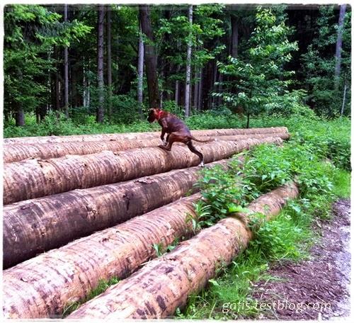 Boxer Amy beim Baumstammklettern
