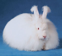 the angora rabbit encyclopedia animals french angora rabbits 250x226