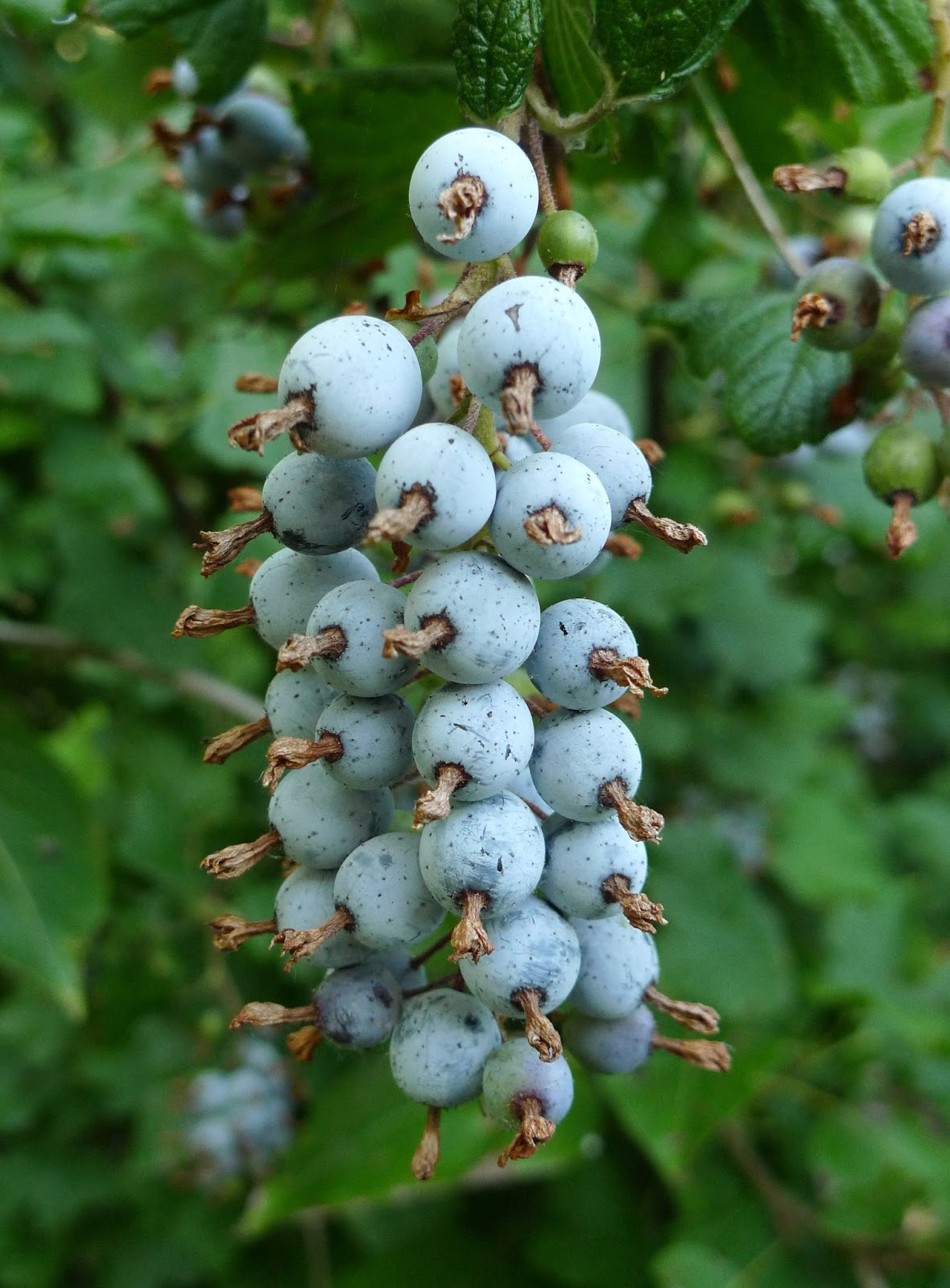 Flowering Currant Bush